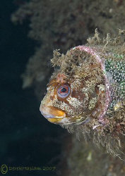 Tompot blenny. Trefor pier. D200, 60mm. by Derek Haslam