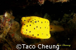Boxfish at Moalboal with my Olympus C 7070 by Taco Cheung