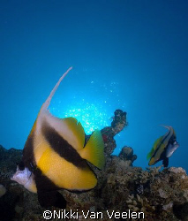 Red sea bannerfish taken at Sharksbay with E300. by Nikki Van Veelen