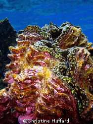 Giant Clam, Line Islands by Christine Huffard