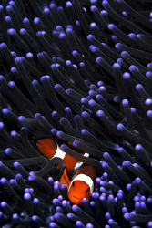 Clownfish taken at Mabul,D200 60mm by Tunc Yavuzdogan