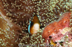 Cosy anemonefish guarding their  eggs by Louwrens De Lange