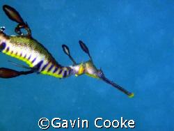 Weedy Seadragon Phyllopteryx taeniolatus Taken under Po... by Gavin Cooke
