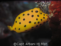 Yellow Boxfish feeding, taken at Mabul Island by Capt Arbani Hj Mat