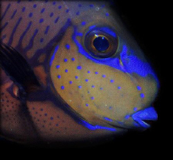 Blue Parrotfish- Saipan Grotto NMI by Martin Dalsaso