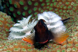 Red-lipped Blenny and Christmas tree worms. I saw this li... by John M Akar