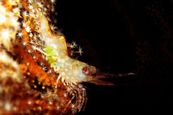 Shrimp - night dive at beng's corner, samal island. canon... by Carlos Munda