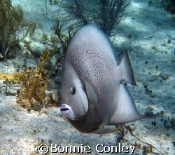Gray Angelfish seen at Isla Mujeres in April 2007.  Photo... by Bonnie Conley