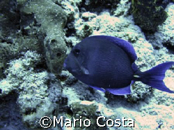 """Blue Tang"" in Cozumel by Mario Costa"