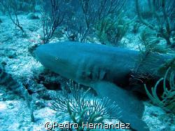 Nurse Shark,Icacos fajardo,Puerto Rico by Pedro Hernandez