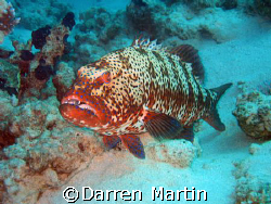 jackson reef red sea, big fish! by Darren Martin