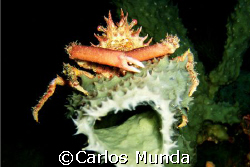Mine! A spider crab stakes its claim on a sponge. Beng's ... by Carlos Munda