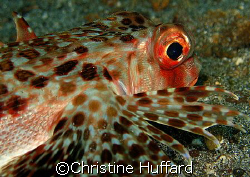 Flying gurnard cruising by Christine Huffard