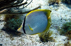 Butterflyfish seen at Isla Mujeres.  Photo taken April 20... by Bonnie Conley