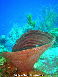 Vase sponge, In the Turks and Caicos islands. by Heather Dugmore