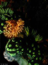 Nembrotha cristata, taken from Philippines, Canon A40 + Y... by Vasa P. Sirinupongs