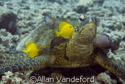 Turtle  cleaning station at Turtle Pinnacle Divesite near... by Allan Vandeford