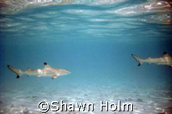 Baby black tipped reef sharks, would come to the shore ev... by Shawn Holm