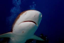 Big headed reef shark!! by Ting Tsui