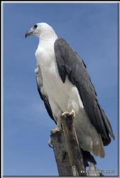 Perhentian island number one top model  protected sea eag... by Yves Antoniazzo