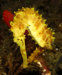 a gorgeous bright yellow seahorse has made its way to Sod... by Fiona Ayerst