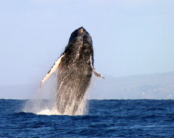 """Breach"".  A large humpback whale majestically breaching ... by Mathew Cook"