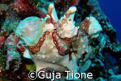 frog fish @ wakatobi by Guja Tione