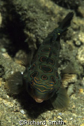 Picturesque Dragonet, the rare cousin of the well known M... by Richard Smith
