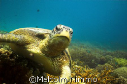 Tutle - taken  from  Rengiss on  Tioman Iisland , Malayas... by Malcolm Nimmo