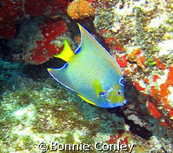Queen Angelfish seen at Isla Mujeres.  Photo taken April ... by Bonnie Conley