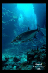 Tarpon and divers in canyon ways at Chub Hole,  Grand Ca... by Neil Van Niekerk