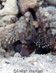 Harlequin prawn goby. S2 Pro, 60mm. by Derek Haslam
