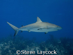 Caribbean reef shark glides over Bamas reef by Steve Laycock
