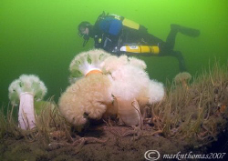 Diver & Plumose Anemones.
