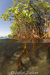 mangrove shallows by Victor Zucker