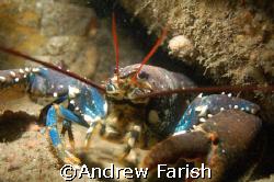 lobster, The Keyra,Dorset, Uk by Andrew Farish