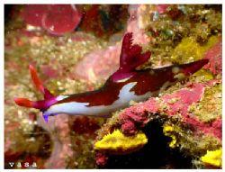 Nembrotha chamberlaini, Puerto Galera, Philippines 18 Jan... by Vasa Sirinupongs