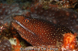 Guineafowl moray (Gymnothorax meleagris) by Louwrens De Lange