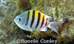 Sergeant Major seen while snorkeling in the King's Bath a... by Bonnie Conley
