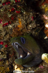 Careful or I'll bite you. This moray jumped out of this w... by Erika Antoniazzo