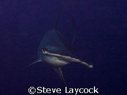 Hammerhead shark, Darwin , Galapagos -  set camera, find ... by Steve Laycock