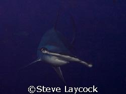 Hammerhead shark, Darwin , Galapagos -  set camera, find ... by Steve Laycock