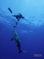 too close for comfort? Bull and freediver interact by Fiona Ayerst