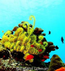 The Coral Garden,taken in Tulamben,Bali with Canon S80 by Zafarol Lokman