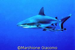 The Shark: Micronesia , Nikon F90x , velvia 50, Two strob... by Marchione Giacomo