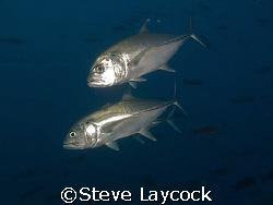 Big eyed jack - Galapagos by Steve Laycock
