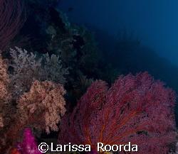Soft coral garden. by Larissa Roorda