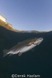 Trout. Capernwray. D200, 10.5mm. by Derek Haslam