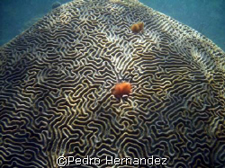 Symmetrical Brain Coral,Humacao, Puerto Rico by Pedro Hernandez