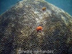 Symmetrical Brain Coral,Humacao, Puerto Rico by Pedro Hernandez